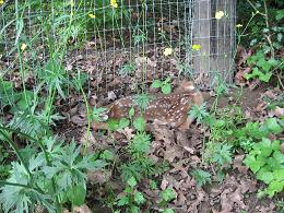 photo of newborn fawn in our yard