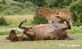 photo of mare rolling by colt