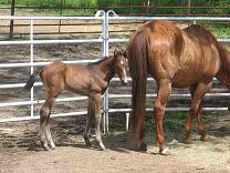 photo of Salsa's one week old colt