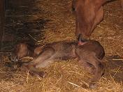 photo of filly about 30 minutes old