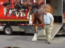 photo of Budweiser Clydesdale